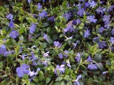 la pervenche: tapis de fleurs
