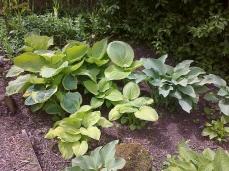 Collection d'hostas en bordure d'étang... elles profitent de l'humidité... et des batraciens qui viennent dévorer les escargots!