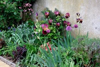 Massif autour des iris Senlac: heuchères pourpres Can can et Fire chief, allium Purple Sensation, ancolie Rose Barlow, feuillage de coquelourde