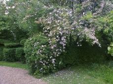 Clématite montana: splendide et délicatement parfumée à la vanille