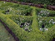 Carrés de buis orné de scilles blancs et de tulipes noires
