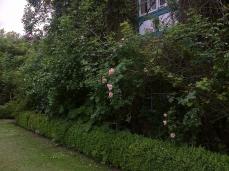 Les rosiers: Ghislaine de Féligonde fleurit déjà