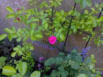 Le rosier qu'a donné ma bouture