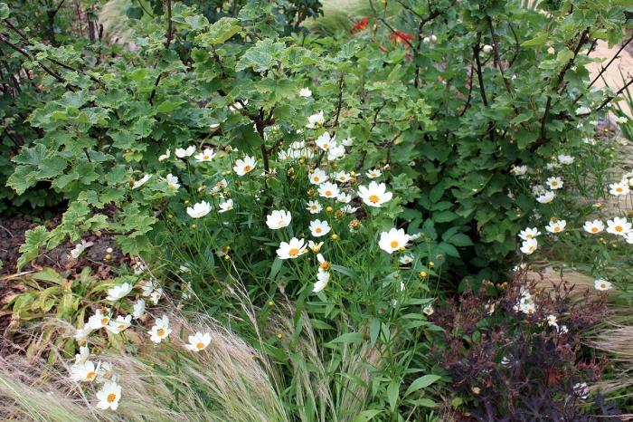 coreopsis blanc