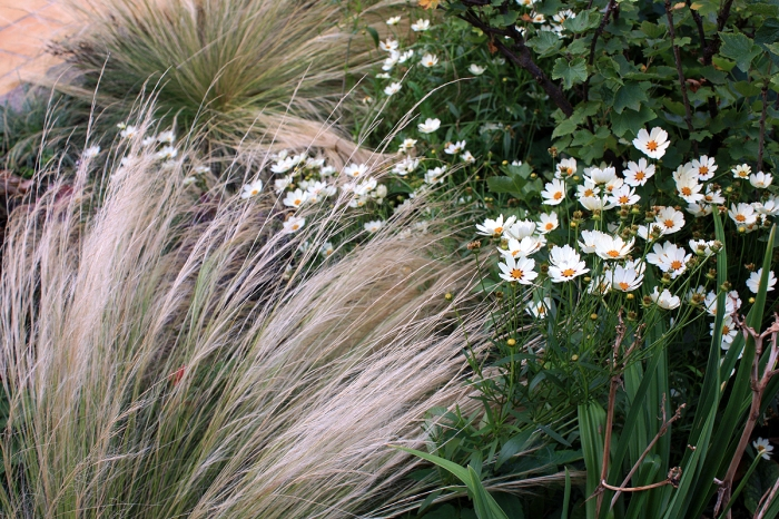 coreopsis blanc et stipa tenuissima