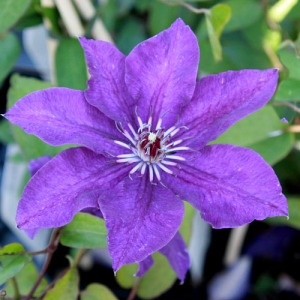 clematis The president 20120904 IMG_5595