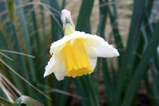 Narcisses Salomé jaune 185