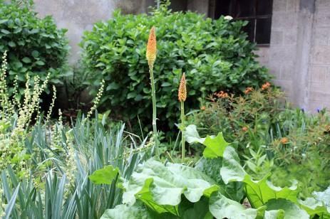Tritoma et rhubarbe, avec une tellima à gauche