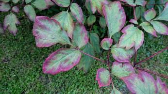 les feuilles de la pivoine arbsustive comment à rougir aux extrémités