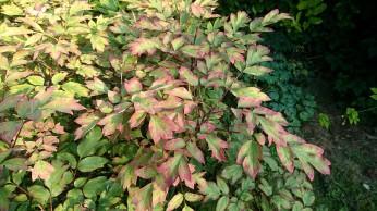 La pivoine arbustive en couleurs d'automne, d'habitude cette photo est prise en octobre, mais cette année c'est en août!