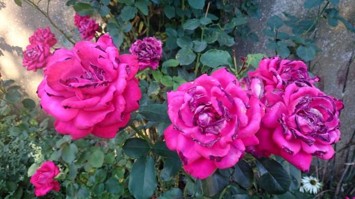 roses grillées par le soleil20160824_DSC_1337