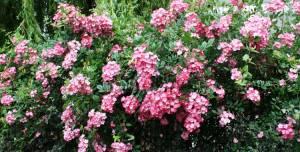 rosier-rosa-american-pillar-2012_06_22_9767