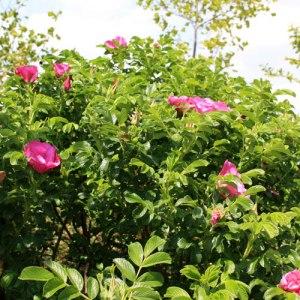 rosa-rugosa1805102010_05_18_wambrechies267